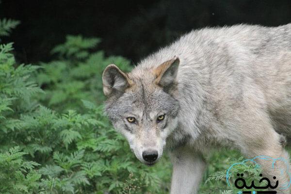 تفسير الذئب في المنام للعزباء